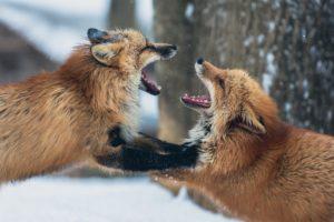 renards en colère qui se disputent
